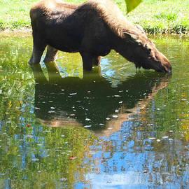 Dan Sproul - Moose Reflection