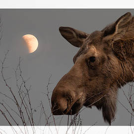 Hilde Stapgens - Moose with rising moon