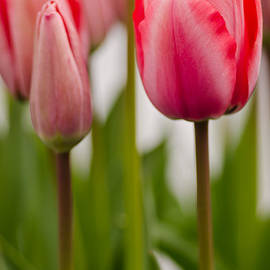 Nick  Boren - More Tulips