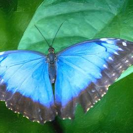 David Millenheft - Morpho Blue Butterfly