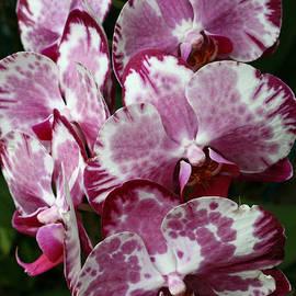 Allen Beatty - Moth Orchid 6
