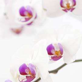 Anne Gilbert - Moth Orchid