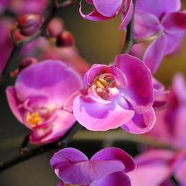 Glenn Morimoto - Moth Orchid Chicago Botanic Garden