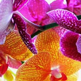 Debbie Oppermann - Moth Orchids