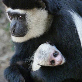 Margaret Saheed - Mother And Baby Colobus