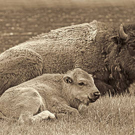 Jennie Marie Schell - Mother Buffalo and Calf Sepia