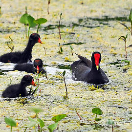 Al Powell Photography USA - Mother Moorhen and Bald Babies