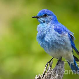 Aaron Whittemore - Mountain Bluebird