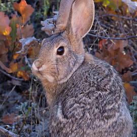 Kathleen Bishop - Mountain Cottontail Bunny