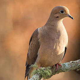 Christy Cox - Mourning Dove