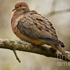 World Wildlife Photography - Mourning Dove Pictures 45