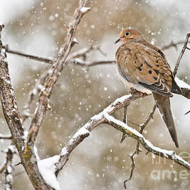 World Wildlife Photography - Mourning Dove Pictures 68