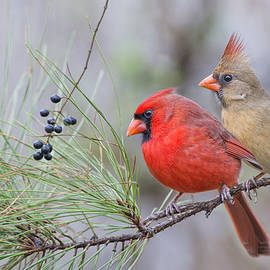 Bonnie Barry - Mr. and Mrs. Redbird in Pine Tree