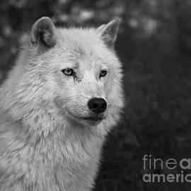 Nina Stavlund - Mr. Arctic Wolf..