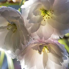 Belinda Greb - Mt Fuji Blooms 2