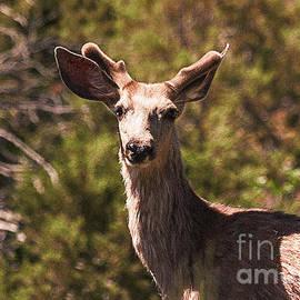 Janice Rae Pariza - Mule Deer in Velvet