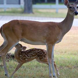 Roy Williams - Mule Deer Nursing