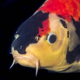 Multicolored Koi Close up Portrait