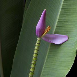 Sharon Mau - Musa ornata - Pink Ornamental Banana Flower - Kepaniwai Maui Hawaii
