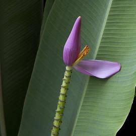 Sharon Mau - Musa ornata - Pink Ornamental Banana Flower - Kepaniwai Maui Hawaii