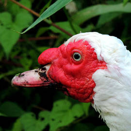 Stephanie Kendall - Muscovy Face
