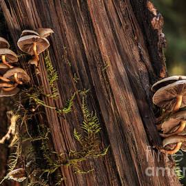Bob Christopher - Mushrooms Redwood Forest