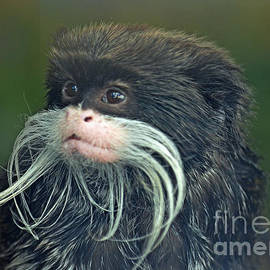 Jim Fitzpatrick - Mustached Monkey Emperor Tamarin