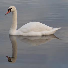 Robert Carr - Mute Swan