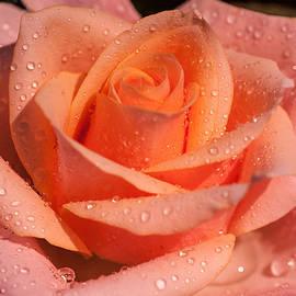 Jenny Rainbow - My Birthday Rose
