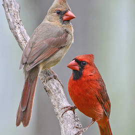 Bonnie Barry - My Cardinal Neighbors
