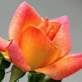 Lori Pessin Lafargue - My First Rose Ever
