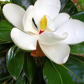 Gardening Perfection - My Magnificent Magnolia