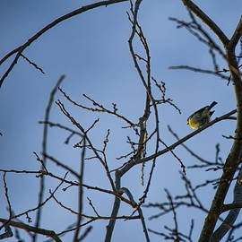 Leif Sohlman - n a round window Great tit sitting on branch among branches creating a window.