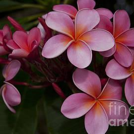 Sharon Mau - Na Lei Pua Melia O Wailua - Pink Tropical Plumeria Hawaii