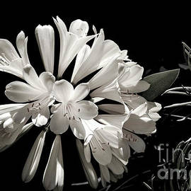 Julie Palencia - Natal Lily in Black and White