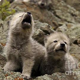 Wildlife Fine Art - Wolves-Natural Sounds