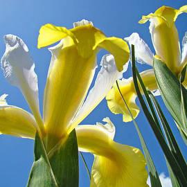 Baslee Troutman - Nature Art Prints Yellow White Irises Flowers