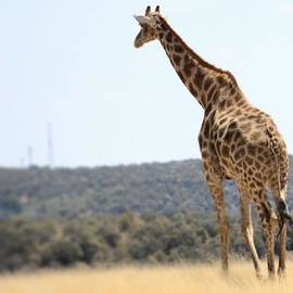 Kevin Kumm - Giraffe
