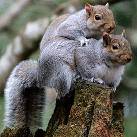 Kym Backland - Fifty Shades Of Gray Squirrel