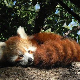 Margaret Saheed - Nepalese Red Panda