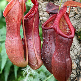 Ros Drinkwater - Nepenthes Bill Bailey