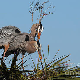 Richard Mann - Nesting Great Blue Herons