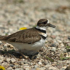 James Peterson - Nesting Killdeer