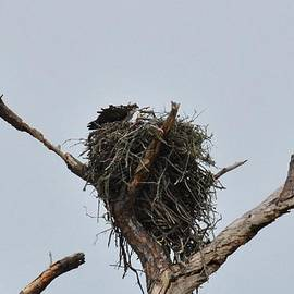 Michele Kaiser - Nesting Ospreys