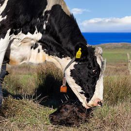 Kathleen Bishop - Newborn Calf on the Pacific Coast