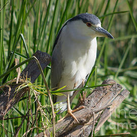 Julio Haro - Night Heron