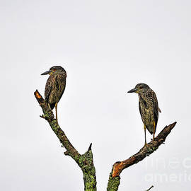 Al Powell Photography USA - Night Heron Juveniles
