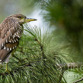 Heron  Images - Night Heron Pictures 12