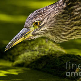 Heron  Images - Night Heron Pictures 4