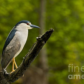Heron  Images - Night Heron Pictures 8